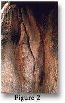 Figure 2 - Vulvaform petroglyph 2.4 m (8 feet) high